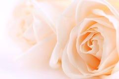 beżowe róże Fotografia Royalty Free