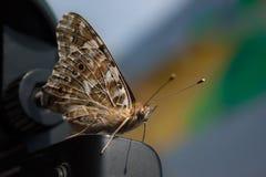 Beżowy brązu szypera motyl z długimi wąsami i puszystym ciałem du?y kropli zieleni li?? makro- fotografii woda Hesperioidea w gór zdjęcie stock