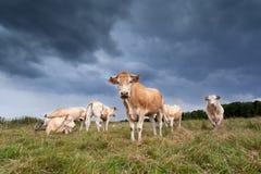 Beżowy bydła stado na paśniku Fotografia Royalty Free