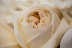 beżowy róża Obrazy Royalty Free