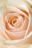 beżowy róża Zdjęcie Stock