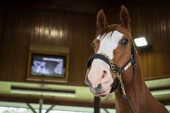 Be A Bono. Lexington, Kentucky. USA - May 28, 2015. Be A Bono, a world famous Quarter Horse racehorse on display at the Kentucky Horse Park. Be A Bono earned the stock photography