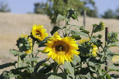 Be the brightness in a landscape on green and gold. Sunflowers growing in our backyard stock image