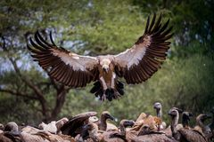 Be careful White backed vulture Royalty Free Stock Photos