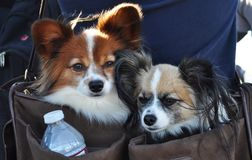 Be deeply attached to each other. A snap shot of two doggies packed into a messenger bag Stock Photography