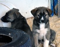 Be`er Ya`acov Eden Farm. Eden farm at Be`er Ya`acov 2017 Israel sweet dogs for a sell l wish i can have them stock photo