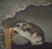 Be för hamster Arkivfoto