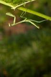be för leafbönsyrsa Arkivbild