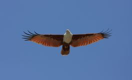 Be Free. Brahminy kite hunting for fish. India, Kerala state, Varkala beach Stock Images