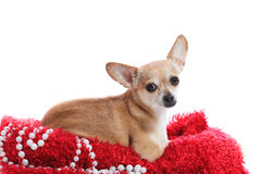 Be mine?. Elegant chihuahua laying on plush red carpet Royalty Free Stock Images