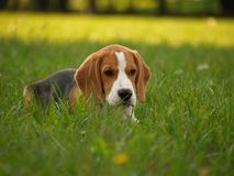 Be Nice With Me, I Had A Bad Day Too. All this cute beagle doggy needs is love; sad puppy lies on the grass Stock Photography