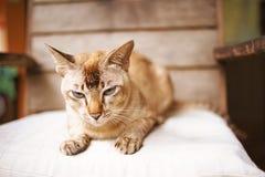 Beżowy purebred kot Obraz Royalty Free