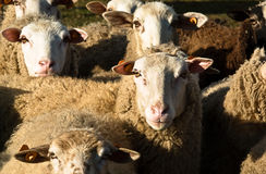 Be sheep my friend Stock Photo
