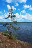 Be single pine-tree. Royalty Free Stock Photo