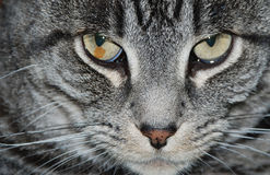 Be Very Careful. A dangerous look from a cat that says: Watch out Stock Photo