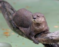 Be*vlekken-necked otter Royalty-vrije Stock Foto's