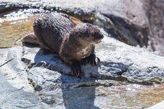 Be*vlekken-necked otter (hydrictismaculicollis) Stock Foto