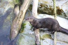 Be*vlekken-necked Otter (Lutra-maculicollis) Stock Fotografie