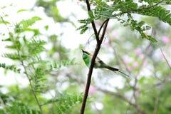 Bea-comedor verde fotografia de stock royalty free