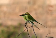 Bea-comedor verde foto de archivo