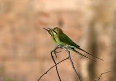 Bea-comedor verde imagen de archivo libre de regalías