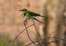 Bea-comedor verde foto de archivo libre de regalías