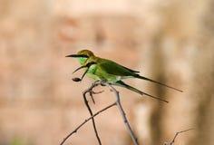 Bea-comedor verde imágenes de archivo libres de regalías