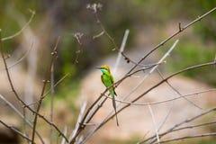 Bea Eater verde cerca de Bangalore la India Fotos de archivo