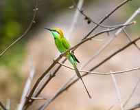 Bea Eater verde cerca de Bangalore la India Foto de archivo