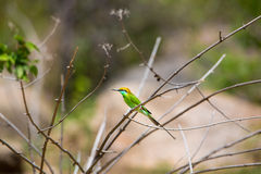 Bea Eater verde cerca de Bangalore la India Imagen de archivo