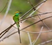 Bea Eater verde cerca de Bangalore la India Imagenes de archivo