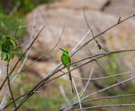 Bea Eater verte près d'Inde de Bangalore Images libres de droits