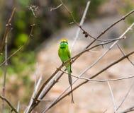 Bea Eater verte près d'Inde de Bangalore Photographie stock