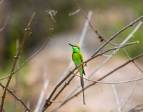 Bea Eater verte près d'Inde de Bangalore Photographie stock libre de droits