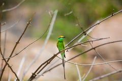 Bea Eater verte près d'Inde de Bangalore Photos stock