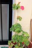 Beaautiful geranium flowers royalty free stock photo