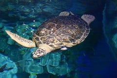 Beaautiful-Meeresschildkröte Lizenzfreie Stockfotos