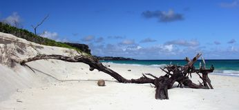 On the beach. A lonely tree trunk at Crane Beach / Barbados Royalty Free Stock Photo