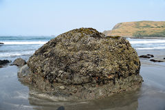 Beach Barnacle Rock. Colorful barnacle covered coastal boulder along Highway 101 in Southern Oregon at low tide Stock Photos