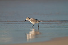 Beach Bird. A sanderling on a sandy beach with reflection royalty free stock photography