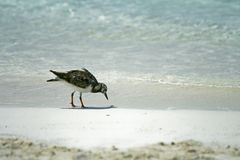 Beach Bird Royalty Free Stock Photo