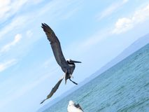 Beach bird flying free, Cumana Venezuela. Pelican flying free. Sunny day in a beach. Photo taken in Cumana, Sucre, Venezuela stock photo