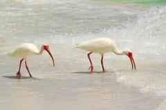 Beach Birds Royalty Free Stock Photography