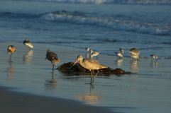 Beach birds Stock Image
