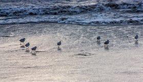 Beach Birds Royalty Free Stock Photos