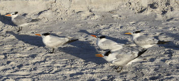 Beach birds Royalty Free Stock Images