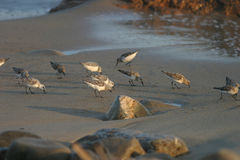 Beach Birds II. Beach birds searching for a meal along the sandy shores Stock Images