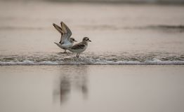 Beach Birds. Pair of plover birds playing in the sea Stock Photo