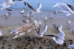 Beach birds quarrel Royalty Free Stock Image