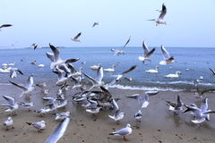 Beach birds rumpus Royalty Free Stock Photo